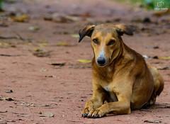 Just Relaxing (Click Geek) Tags: clickgeek nikon d5200 kitlens 55200 handheld dog loyal doglover animal eyes outdoors