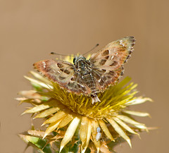 / Mallow Skipper / Carcharodus alceae / Malven-Dickkopffalter (katunchik) Tags: hesperiidae pyrginae taxonomy:binomial=carcharodusalceae malvendickkopffalter  mallowskipper