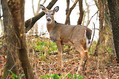 white-tailed deer doe at Seed Saver's Exchange IA 854A0922 (lreis_naturalist) Tags: whitetailed deer doe seed savers exchange winneshiek county iowa larry reis