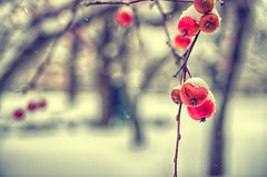 Cherry Bomb (flashfix) Tags: november242016 2016 2016inphotos nikond7000 nikon ottawa ontario canada 40mm crabapples snow winter macro cooltones bokeh nature mothernature branch tree flurries lines
