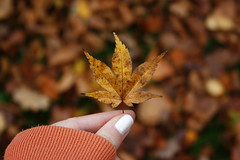 In your hands. 7.48 (Louise Lemettais) Tags: hands hand orange feuilles forest fingers me myself today automne automn love macro flou detail precis delire normandie froid winter monde world macrophotographie macromondays tree leaf rable dead great cool doigt girl sweat