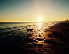 walking on sunshine (sebastianhillemann) Tags: s7 reflection water meer sea sky morning animal hund strand germany landscape nature dog samsung sunshine beach