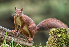 Who's watching who now??? (jacobsfrank) Tags: squirrel eekhoorn natuur nature red rood redsquirrel rodeeekhoorn flickr nikon nikond500 frankjacobs jacobsfrank belgium belgie