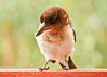 Pied butcherbird (17 of 22) (Daniela Parra F.) Tags: aves birds butcherbird piedbutcherbird australia queensland southeastqueensland birdsofaustralia australianwildlife aussiebirds australianbirds wild wildlife springbrook subtropical rainforest mountainrainforest springbrooknationalpark