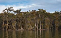 wall of wonder (Mr. Greenjeans) Tags: water lake lakeverret louisiana baldcypress cypress trees shoreline