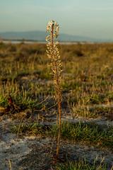 ?weed (jan.stefka) Tags: canoneos7d stagnodimistras sardegna sardinie 2016 sardinia