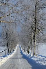 The Birches in Winter (henrikwerge) Tags: