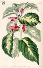 Anglų lietuvių žodynas. Žodis caricature plant reiškia karikatūra augalų lietuviškai.