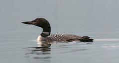 Loon, Bull Lake (Diane Higdem Photography) Tags: montana waterbird libby loon bulllake