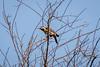 pica-pau-do-campo (Colaptes campestris) (Ana Carla AZ) Tags: birds rj aves lugares lidice colaptescampestris piciformes picidae picapaudocampo picapaus