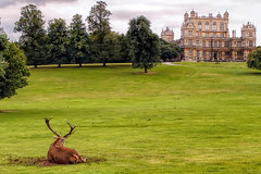 Resting Deer at Wollaton Hall, Nottingham (Arran Bee) Tags: park nottingham uk england house hall country deer wollaton midlands