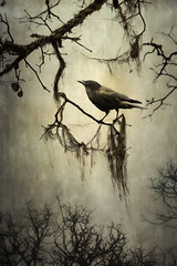 Winter Crow (cbfarrell2003) Tags: winter white black tree green bird moss oak branch bright cloudy grim ominous sinister bare branches highcontrast overcast frombelow spanishmoss perch gnarly hanging perched crow stark sideview staring somber barren gnarled harsh perching