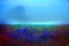 (SAMO__) Tags: blue autumn mist color tree nature colors fog natura niebieski poranek jesie mga kolory kolor drzewo czerwony kolorowe mirning