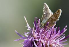 L'Hesprie des hlianthmes - Pyrgus foulquieri -  (michel lherm) Tags: papillons lpidoptres rhopalocres pyrgusfoulquieri hespriedeshlianthmes