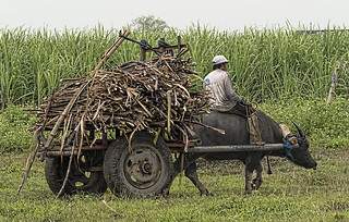 Harvest Time - Sugar Cane Philippines