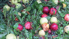 county line orchard. october 2015 (timp37) Tags: county fall apple october indiana ground orchard line apples picking pickin 2015
