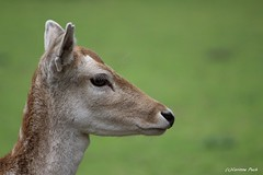 Daine (Passion Animaux & Photos) Tags: france doe deer parc fallow dama saintecroix daine
