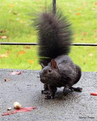 peanut and squirrel (marneejill) Tags: black squirrel steps front friendly peanut tame