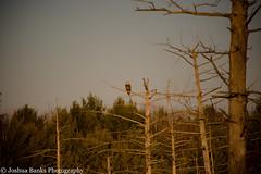 Osprey Watching Over (Joshua Banks Photography) Tags: lake bird water birds wisconsin rural creek river nikon marsh ornithology osprey necedah ornithologist ruralamerica whoopingcrane mauston ruralwisconsin tomahwi juneaucounty birdsofwisconsin discoverwisconsin cranberrycountry warrenswi juneaucountywisconsin d5200 maustonwi wisconsinbackroads wisconsinphotographers joshuabanks fallbirdmigration nikond5200 jacksoncountywi joshuabanksphotography wisconsinbirdmigration necedahfederalwildliferefuge meadowvalleystatenaturalarea