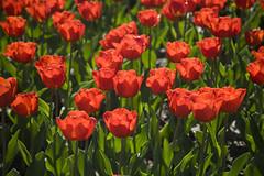 Real Jardn Botnico (lilybow) Tags: madrid amapola realjardinbotanico
