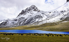 Yak Grazing At Shimshal Lake | Pamir (Fareed Gujjar - Next Mount Everest April 14) Tags: autumn pakistan lake beautiful scenery north hunza farid pamir fareed ghizer skardu phandar gupis mashabrum shimshalpass faridgujjar fareedgujjar mangliksar northeran yaksarai