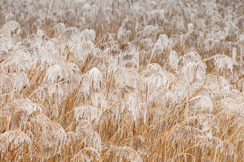 White frost in the reed