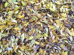 6th November 2015 (EmmaDurnford) Tags: autumn wet leaves bare