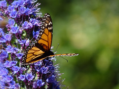 My Resolution ... (Home Land & Sea) Tags: flowers newzealand butterfly spring purple monarch nz napier pointshoot sonycybershot hawkesbay explored homelandsea dschx100v