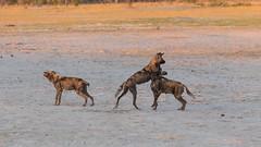 20151108_Shinde_0144.jpg (eLiL1860) Tags: botswana okavango tierwelt africanwilddogs safari2015