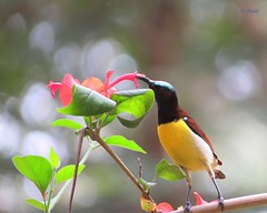 Purple Rumped Sunbird (pani_mail) Tags: sunbird
