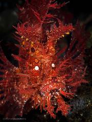 Vulcan (Christian Gloor (mostly) underwater photographer) Tags: weedy scorpionfish rhinopias frondosa diving underwater nauticam olympus omd em5 lembeh indonesia sulawesi red fire fiery portrait face flamboyant