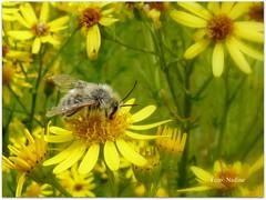 Summer Mood (Nadine V.) Tags: witbaardzandbij zandbij sandbee bug bij panasonic panasonicdmcfz38 bloem fz38 flower lumix notinourgarden sandpitminingbee andrenabarbilabris andrena