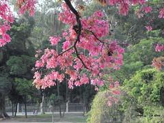 Primavera na Quinta da Boa Vista. (o.dirce) Tags: galho vegetao primavera quintadaboavista riodejaneiro tropical odirce