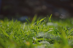 G R A S S  (Romi Equinozio) Tags: grass green natura close up bokeh 35mm nikon3100 3100