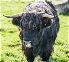 Scottish Highland cattle (IzabelaWinter) Tags: highlands cattle hochlandrind scotland animals