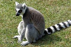 P1060236 (LaBonVampire) Tags: lemur animals nature leica leicalenses lumix