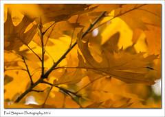 Golden Autumn (Paul Simpson Photography) Tags: leaves autumncolours autumn fall coloursofautumn paulsimpsonphotography photoof photosof plantlife sonya77 sonyphotography nature naturalworld trees twigs fallcolor october2016