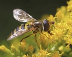 Eupeodes Syrphid Fly (milesizz) Tags: spilomyiasayi diptera milwaukee wisconsin wi aschiza syrphidae syrphidflies eristalinae syrphinae syrphini eupeodes metasyrphus