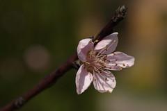 2016_04_03_03081 (bencze82) Tags: canon eos 700d voigtlnder apolanthar 90mm f35 slii kert garden termszet nature macro makr flower virg tavasz spring