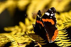 Papillon Automnal (CCed 74) Tags: papillon parc naturel boutissaint automne couleurs automnales fougres nivre puisaye