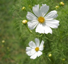 Patience (candiceshenefelt) Tags: cosmos whiteflowers pretty pure white love peace happiness