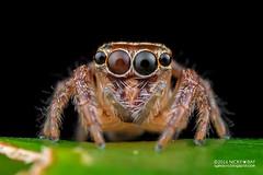 Jumping spider (Salticidae) - PA120103 (nickybay) Tags: singapore durianloop macro salticidae jumping spider