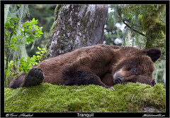 Tranquil (Wild Elements.ca) Tags: bc britishcolumbia bccoast bear bears coast grizzlies grizzly grizzlybear grizzlybears khutzeymateen mammals wildlife skeenaqueencharlottea canada ca