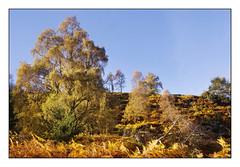 Autumn on Birnam Hill (Fife Walking (Susan B)) Tags: autumn perthshire birnam scotland birnamhill dunkeld outdoors landscape tree woodland colours