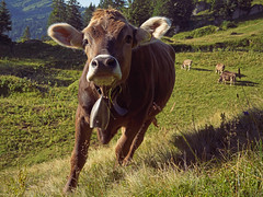 Allgäuer Braunvieh (liebesknabe) Tags: gündlesscharte rindalphorn a5100 ilce5100 selp1650 brownswiss allgäu braunvieh cattle animal alp alpen bavaria germany