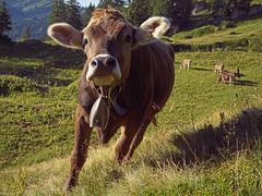 Allguer Braunvieh (liebesknabe) Tags: gndlesscharte rindalphorn a5100 ilce5100 selp1650 brownswiss allgu braunvieh cattle animal alp alpen bavaria germany