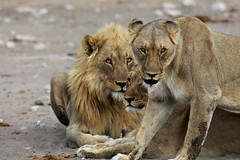 The King, Queen and the Mistress (carlos.aantunes) Tags: lion lioness etosha namibia africa wild cats big portrait looking amazing laid down matting mouth eyes male female