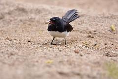 Willie Wagtail (Luke6876) Tags: williewagtail fantail bird animal wildlife australianwildlife