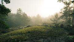 Enchanted Forest (Jens Haggren) Tags: forest nature light mist morning landscape