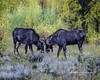 Two Young Bull Moose, Jackson Hole Wyoming, Grand Teton National Park (Hawg Wild Photography) Tags: bullmoose jacksonholewyoming grandtetonnationalpark wildlife nature animal animals terrygreen nikon nikon200400vr d810 hawg wild photography